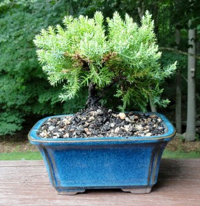 Proflowers Bonsai Plant